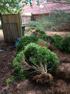 shrubs pulled up by the roots