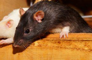 rat in wooden box